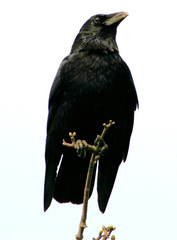 Crow%20%28Carrion%20Crow%204%29.jpg