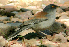 Junco%20%28Yellow-eyed%20Junco%201%29.jpg